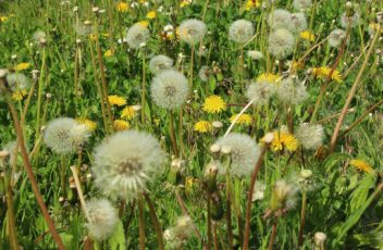 Allergiefoto_dandelion-328514_1920