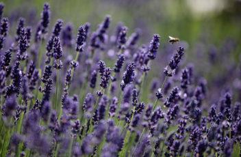 Garten-Natur-Biene-Lavendel-Larimar © Hotel Larimar, Bernhard Bergmann (2)