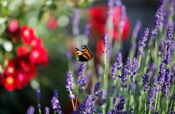 Garten-Natur-Schmetterling-Lavendel-Larimar © Hotel Larimar, Bernhard Bergmann